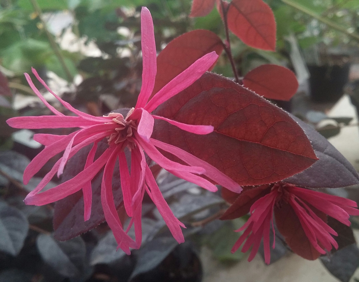 Loropetalum pipas red