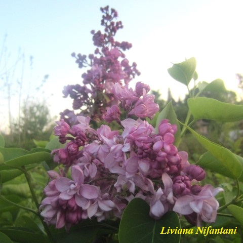 Syringa vulgaris Paul Deschanel - Lillà 4